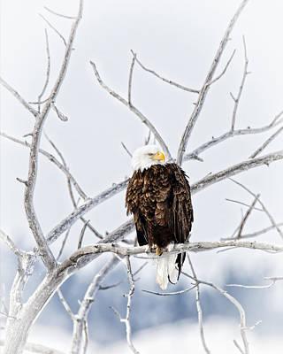 Winter Eagle Print by Jana Thompson