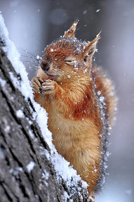 Squirrel Wall Art - Photograph - Winter by Ervin Kobak?i