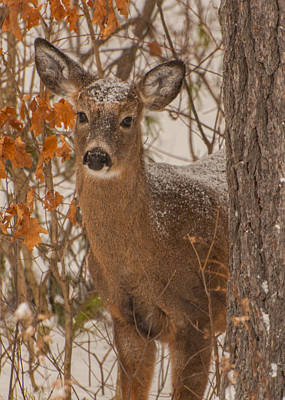 Photograph - Winter Fawn by Brenda Jacobs