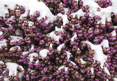 Winter Flowering Heather Erica Carnea In Spring Covered With Snow Print by Matthias Hauser