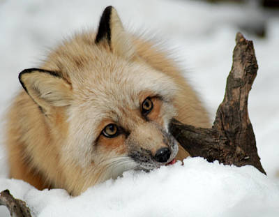 Photograph - Winter Fox 2 by Richard Bryce and Family