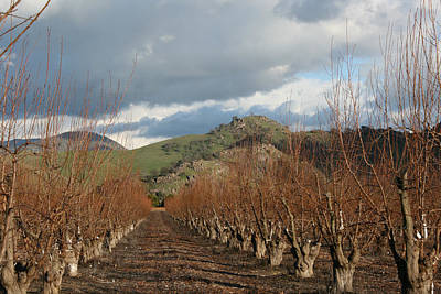 Photograph - Winter Fruit Orchard by Marsha Ingrao