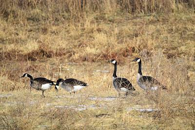 Photograph - Winter Geese by Bonfire Photography