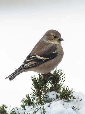 Winter Goldfinch Art Print