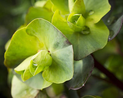 Photograph - Euphorbia In Winter Green by Priya Ghose