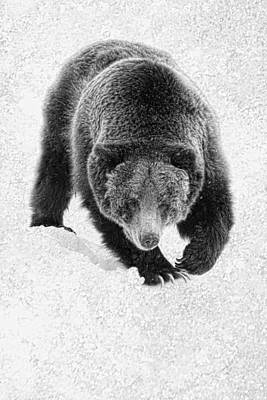 Photograph - Winter Grizzly by Steve McKinzie