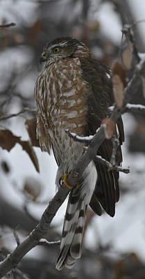 Photograph - Winter Hawk by Rae Ann  M Garrett