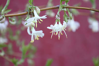 Photograph - Winter Honeysuckle by Gerry Bates