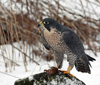 Winter Hunt Peregrine Falcon In The Snow Art Print by Inspired Nature Photography Fine Art Photography