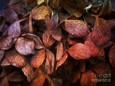 Photograph - Winter Hydrangeas by Judi Bagwell