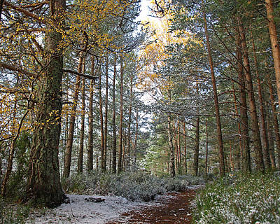 Winter In The Forest Near Aviemore Art Print