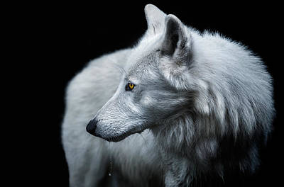 Alpha Wolf Photograph - Winter Is Coming by Pedro Jarque