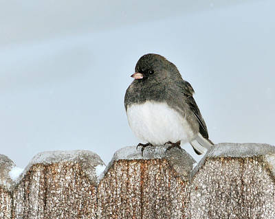 Winter Junco Art Print by Betty LaRue