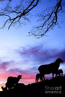 Winter Lambs And Ewes Sunrise Art Print by Thomas R Fletcher
