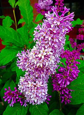 Photograph - Winter Lilacs by Robert Meyers-Lussier