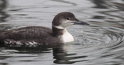Photograph - Winter Loon by Randy Hall