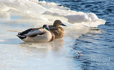 Photograph - Winter Mallards by Cheryl Baxter