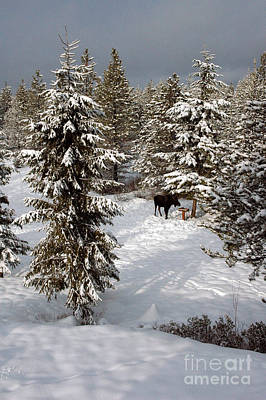 Photograph - 225p Winter Moose by NightVisions
