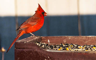 Photograph - Winter Northern Cardinal by Edward Peterson