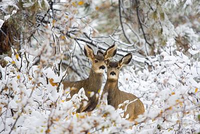 Steven Krull Royalty-Free and Rights-Managed Images - Winter Pair by Steven Krull