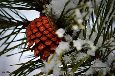 Winter Pine Art Print by Guy Hoffman
