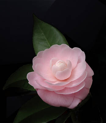 Photograph - Winter Pink Camellia by Deborah Smith