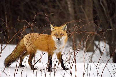 Photograph - Winter Predator by Joshua McCullough