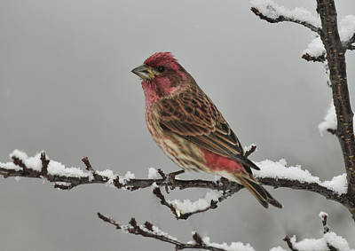 Photograph - Winter Purple Finch by Lara Ellis