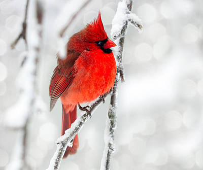 Photograph - Winter Red by Jaki Miller