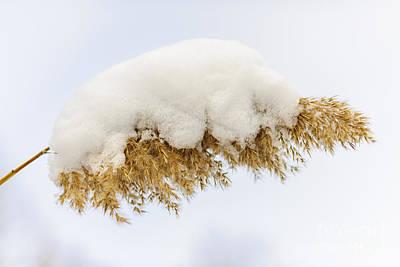 Winter Reed Under Snow Art Print