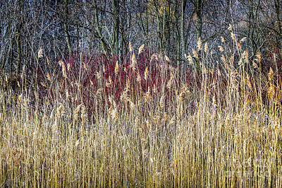 Winter Reeds And Forest Art Print
