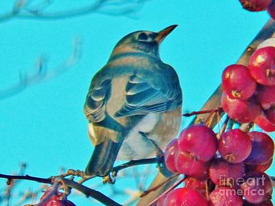 Photograph - Winter Robin And Crabapples by Judy Via-Wolff