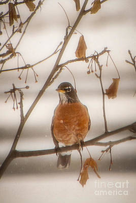 Photograph - Winter Robin by Grace Grogan