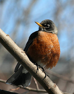 Photograph - Winter Robin by Kathy J Snow