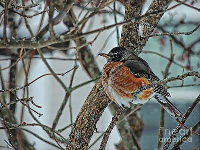 Photograph - Winter Robin by Marcia Lee Jones