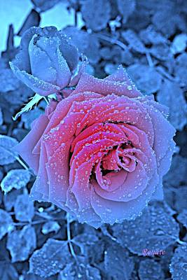 Winter-rose Art Print