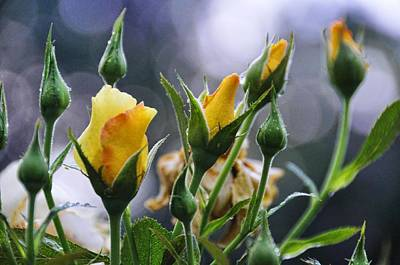 Photograph - Winter Roses by Jan Amiss Photography