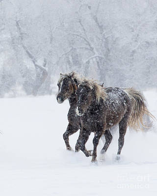 Rocky Mountain Horse Photograph - Winter Run For Rocky Mountain Horses by Carol Walker