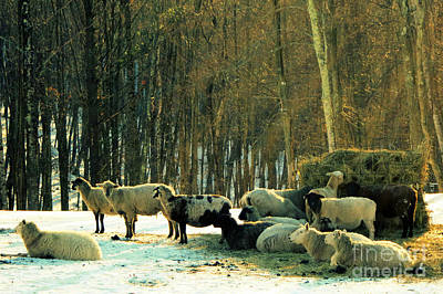 Photograph - Winter Sheep by Patricia Januszkiewicz