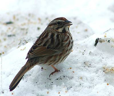 Photograph - Winter Sparrow... by Al Fritz