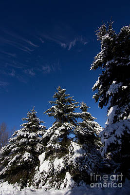 Winter Spruce Art Print by Steven Valkenberg