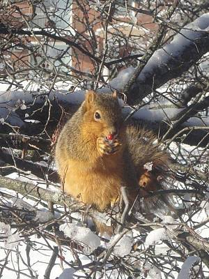 Photograph - Winter Squirrel Eats A Berry Frosted by Guy Ricketts