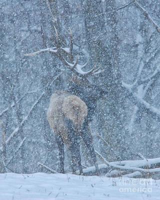 Elk Hide Photograph - Winter Storm Elk by Timothy Flanigan