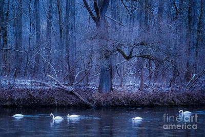 Photograph - Winter Swans by Alexander Kunz