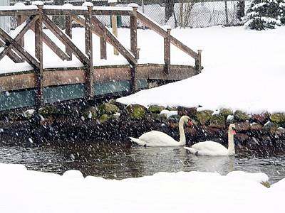 Photograph - Winter Swans by Janice Drew