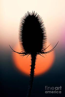 Seedhead Photograph - Winter Teasel by Tim Gainey