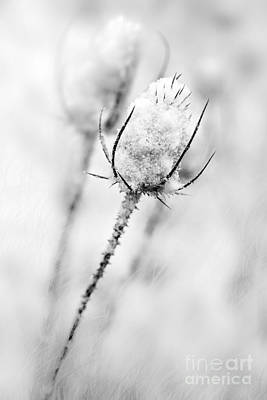 Photograph - Winter Thistle by Michael Arend