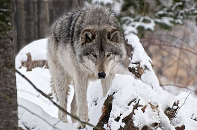 Print featuring the photograph Winter Timber Wolf by Wolves Only