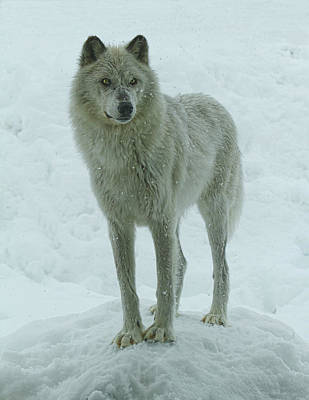Photograph - Cold Stare by Steve McKinzie