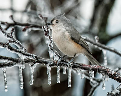 Photograph - Winter Titmouse by Lara Ellis